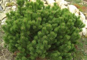 В питомнике растений в Подгорье предлагаем Сосну Гном и другие хвойные растения