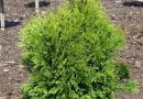В питомнике растений в Подгорье предлагаем тую западную Тип Топ и другие саженцы хвойных растений