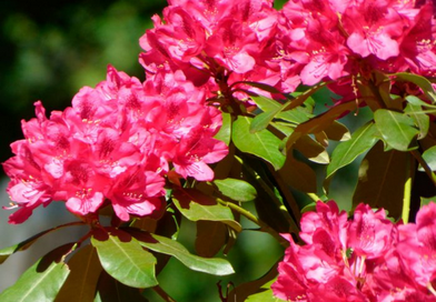 Подгорье. В питомнике растений в Могилеве купить родендрон и другие цветы