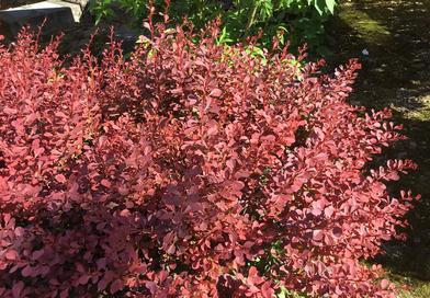 Подгорье. В питомнике растений в Могилеве купить Барбарис тунберга Атропурпурея и другие кустарники