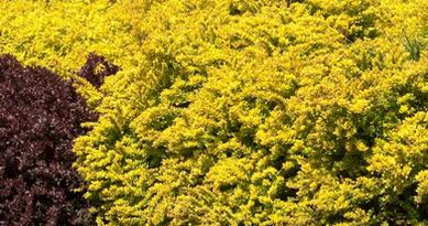 Подгорье. В питомнике растений в Могилеве купить Барбарис тунберга Аурея и другие кустарники