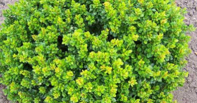 Подгорье. В питомнике растений в Могилеве купить Барбарис тунберга Кобольд и другие кустарники