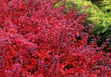 Подгорье. В питомнике растений в Могилеве предлагаемБарбарис Тунберга Дартс Ред Леди и другие виды саженцев кустарников