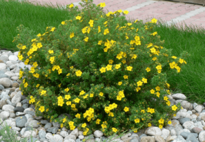 Подгорье. В питомнике растений в Могилеве предлагаем саженцы лапчатки кустарниковой желтой.