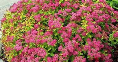 В питомнике растений в Могилеве предлагаем саженцы Спиреи японской Фроебелии