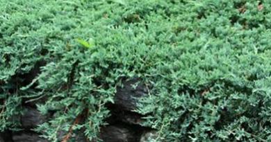 Подгорье. В питомнике растений в Могилеве предлагаем саженцы Можжевельника горизонтального Вилтони