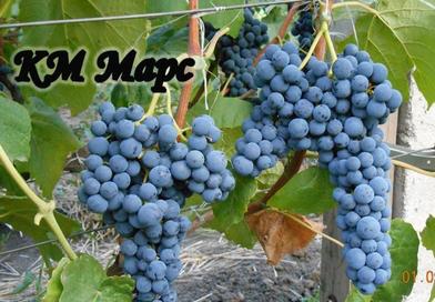 Подгорье. В питомнике растений (Могилевский район) предлагаем саженцы винограда. Кишмиш Марс