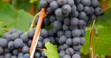 Подгорье. В питомнике растений (Могилевский район) предлагаем саженцы винограда. Эстер.