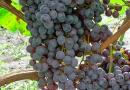 Подгорье. В питомнике растений (Могилевский район) предлагаем саженцы винограда. Кишмиш Уникальный