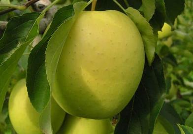 Яблоня Каштеля в Могилеве. Питомник растений в Подгорье.